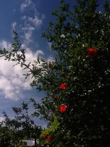 Pomegranate, rural Herzegovina